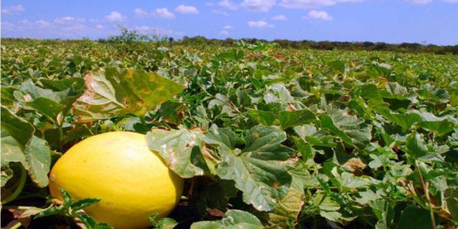 Fruticultura emprega cerca de 10 mil pessoas na região