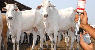 Campanha foi estendida porque muitos criadores não reuniram o gado para a vacinação.