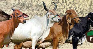 Emaprn e empresas privadas leiloarão 45 lotes de bovinos, além de jumentos Pega e burros mulos.