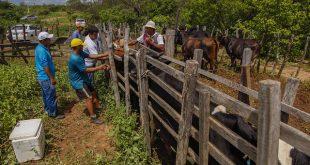 Rebanho deve ser vacinado em 133 comunidades rurais e projetos de assentamento em Mossoró (Foto: Divulgação PMM).