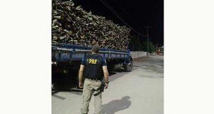 O caminhão transportava 25 metros cúbicos de madeira com a documentação ambiental pertencente a outro veículo e licença ambiental vencida (Foto: PRF).