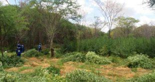 De acordo com a PF, caso os 48 mil pés de maconha fossem colhidos e preparados para venda, o material pesaria 16 toneladas (Foto: Divulgação PF).