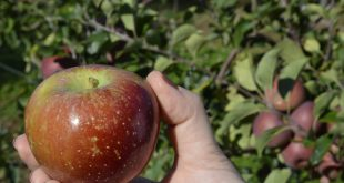 Experimento avaliará produção de frutas como a maça no sertão do Apodi