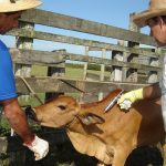 Prefeitura de Mossoró aumenta oferta de vacinação contra Aftosa