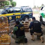 PRF e IBAMA prendem 11 pessoas vendendo pássaros silvestres em Macaíba