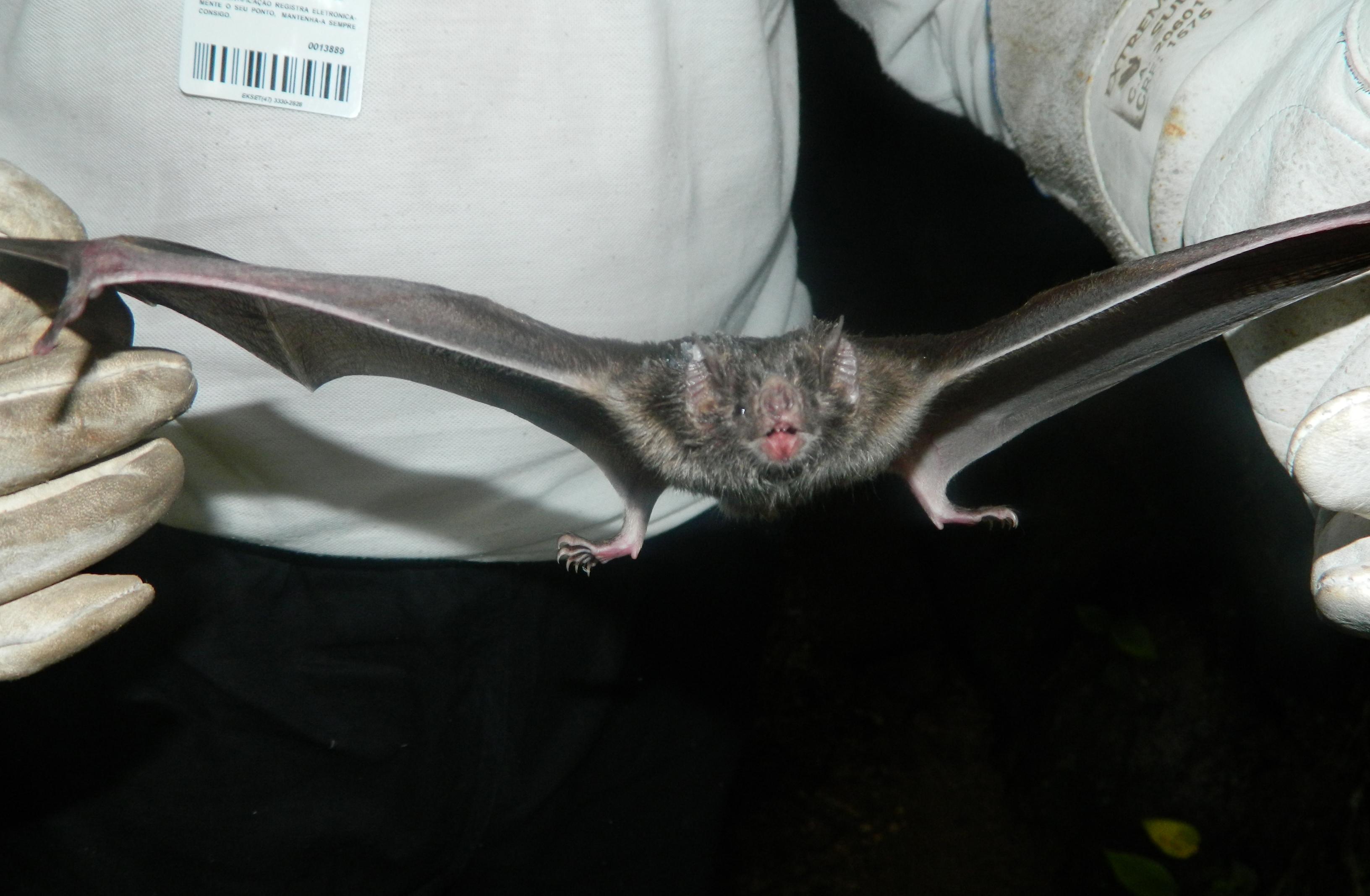 Sesap alerta para aumento de casos de raiva em morcegos no RN