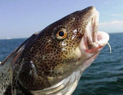cabeça de bacalhau