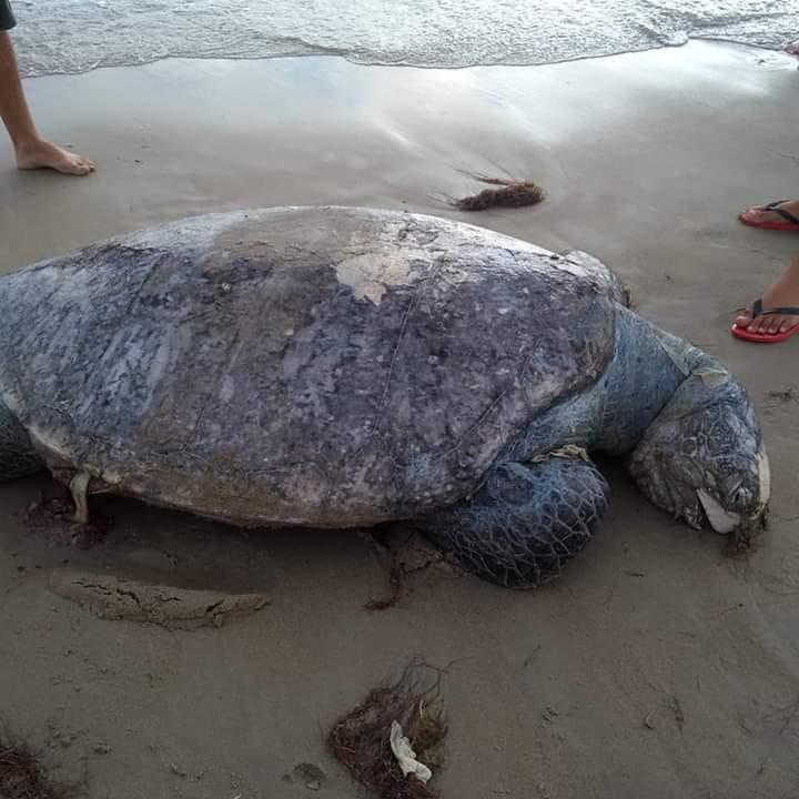 Tartaruga marinha é encontrada morta na praia de Tibau