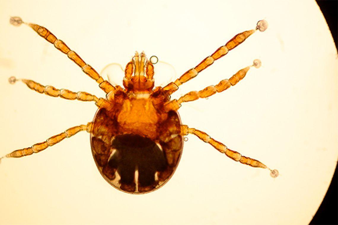 Larva de Rhipicephalus microplus