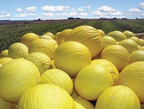 Melão de Mossoró será primeira fruta brasileira exportada oficialmente para mercado chinês